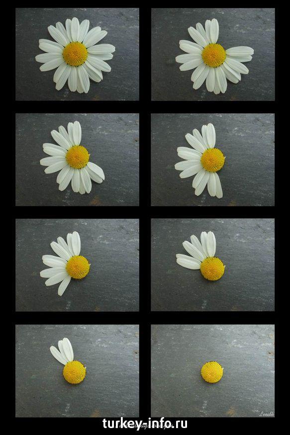I гадание на любовь по цветка